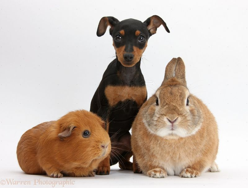 36322-Miniature-Pinscher-puppy-rabbit-and-Guinea-pig-white-background